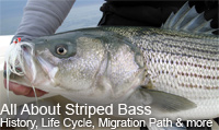 All About Striped Bass, History of Striped Bass, Migration Patterns of Striped Bass, Spawning of Striped Bass, Feeding Habits of Striped Bass