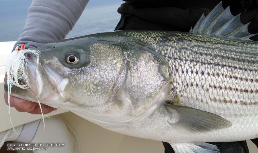 Striped bass fish images galleries for Bass fish images