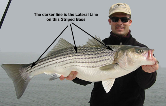 fish lateral line line shown in this picture of a striped bass from the Chesapeake Bay